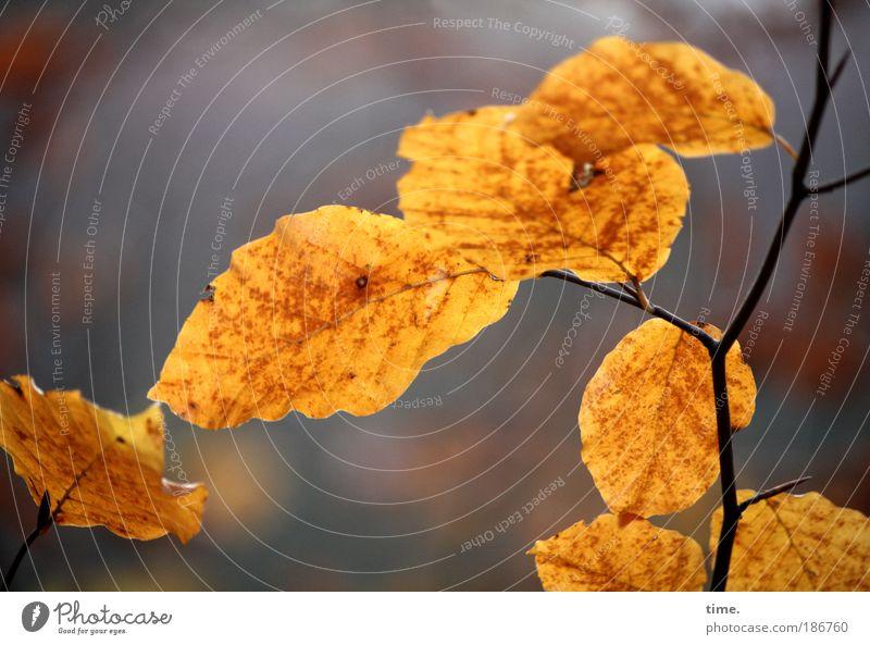 Au revoir für dieses Jahr Natur Blatt Tod Leben Herbst Traurigkeit Spaziergang Vergänglichkeit Ast zart Pflanze zerbrechlich filigran Zuneigung Buche Unterholz