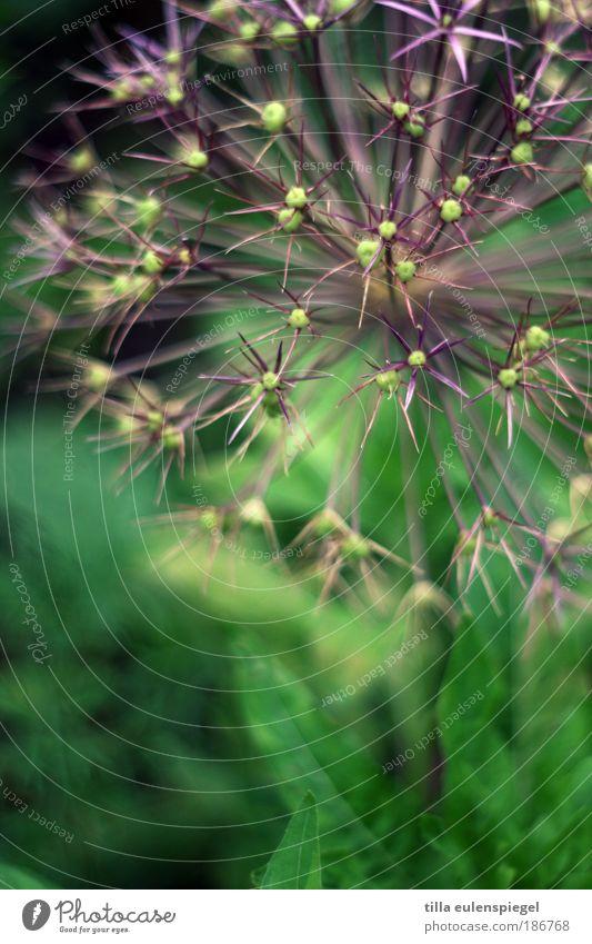 nicht mehr lange bis Silvester Natur grün Pflanze schwarz Farbe kalt Umwelt violett fantastisch natürlich außergewöhnlich exotisch Symmetrie Beet Grünpflanze