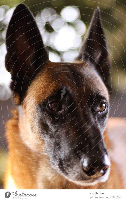 Hundeporträt Tier Haustier 1 Erholung Traurigkeit warten Cash carölchen Belgischer Schäferhund Hundekopf Porträt Farbfoto Innenaufnahme Halbprofil Wegsehen