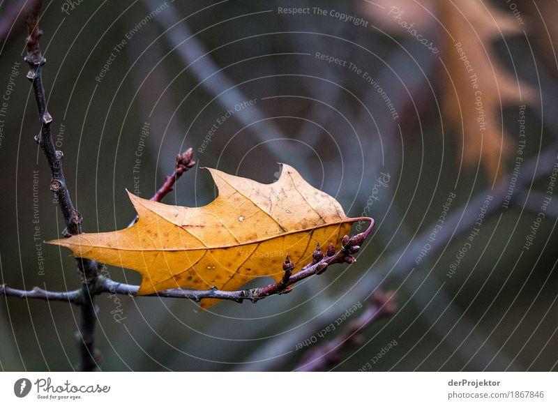 Das letzte Blatt Ferien & Urlaub & Reisen Tourismus Ausflug Ferne Freiheit wandern Umwelt Natur Landschaft Pflanze Tier Herbst schlechtes Wetter Baum Wald