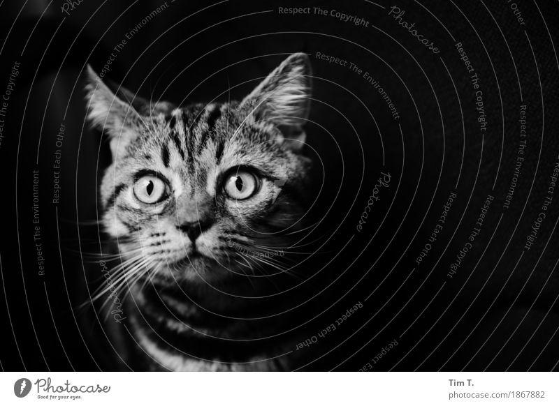 Kater Tier Haustier Katze 1 Tierjunges Neugier Wachstum Hauskatze Auge Gesicht Schwarzweißfoto Innenaufnahme Menschenleer Textfreiraum rechts Nacht Tierporträt