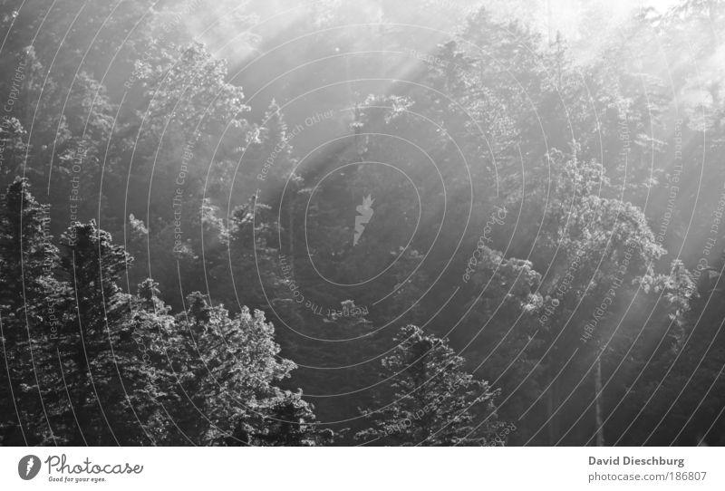 Morgens halbzehn in Deutschland Umwelt Natur Pflanze Nebel Baum Wald Nadelwald Baumkrone Schwarzweißfoto Tag Licht Schatten Kontrast Lichterscheinung