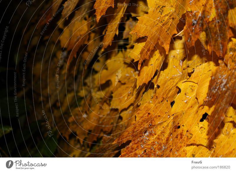 Gelber Wein Blatt Herbst Wärme Stimmung gold
