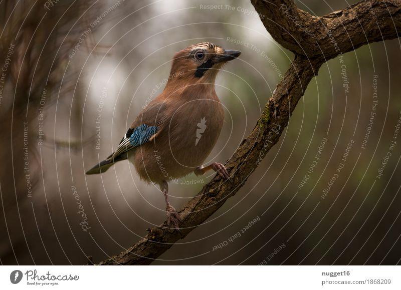 Eichelhäher Umwelt Natur Tier Sommer Herbst Nebel Baum Garten Park Wald Wildtier Vogel Tiergesicht Flügel 1 beobachten ästhetisch außergewöhnlich schön Neugier