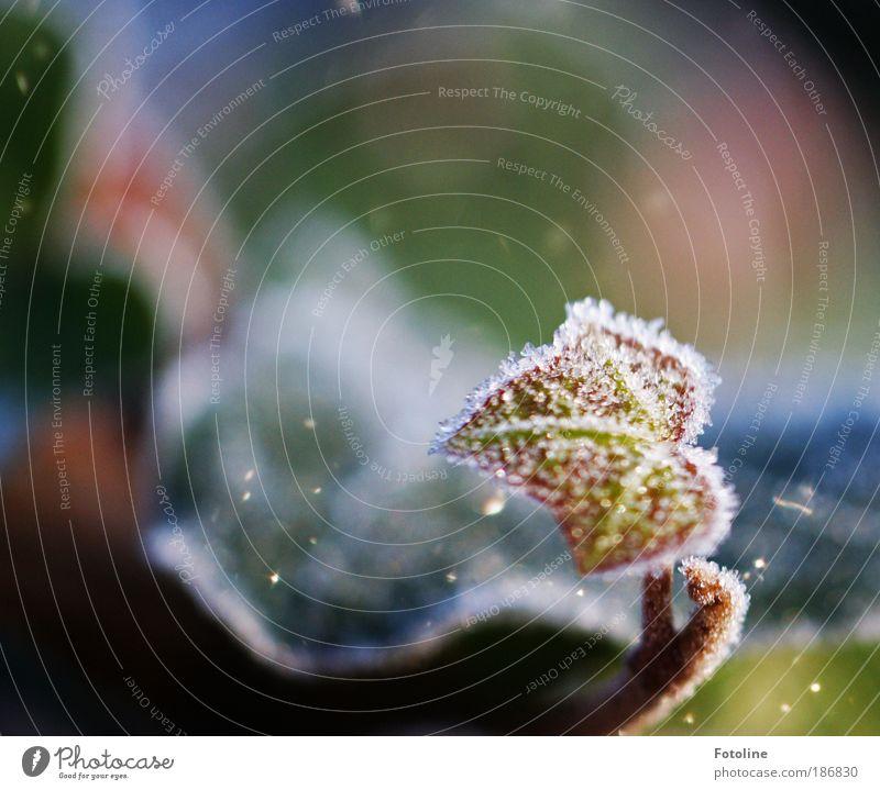 Efeu gezuckert Natur weiß grün Pflanze rot Winter Blatt kalt Herbst Eis hell glänzend klein Wetter Umwelt frisch
