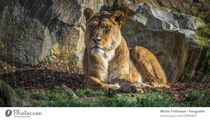 Liegendes Löwenweibchen in der Sonne Zoo Natur Tier Sonnenlicht Pflanze Gras Wildtier Tiergesicht Fell Pfote 1 Stein beobachten Erholung liegen ästhetisch