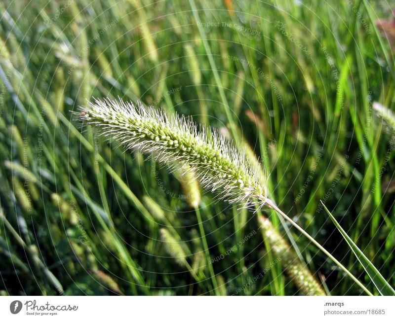Einzelgänger Gras Wiese Feld Sommer grün Ähren Blühend Ernte Wärme marqs