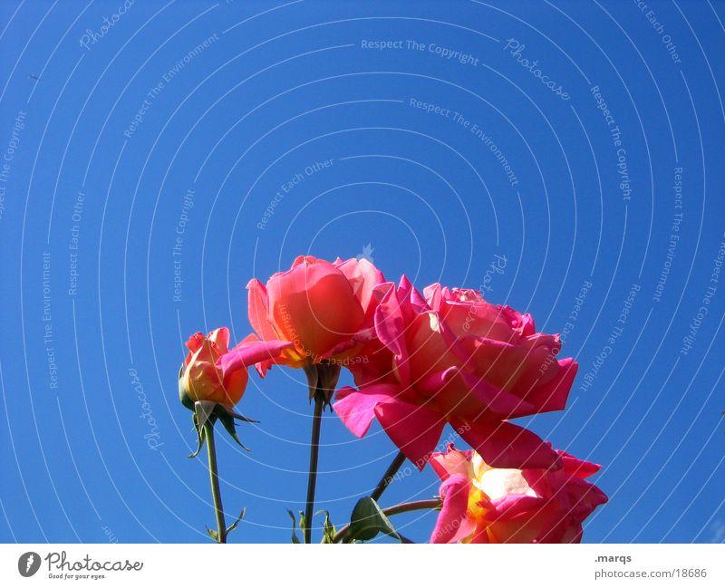 Unter den Wolken Himmel blau rot rosa Rose Blühend