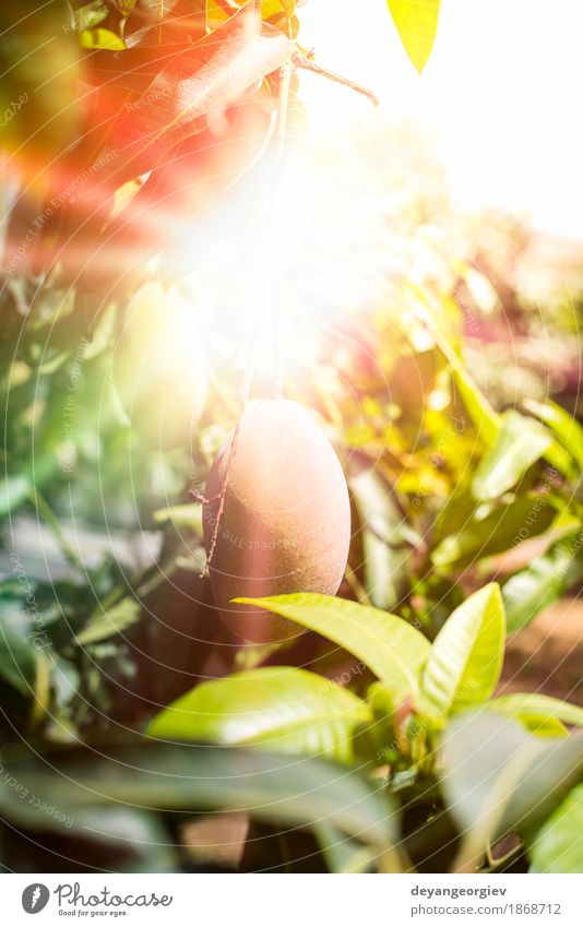Mangos auf Zweig Frucht Essen Vegetarische Ernährung exotisch Sommer Sonne Garten Natur Pflanze Baum Blatt frisch natürlich gelb rot Sonnenstrahlen