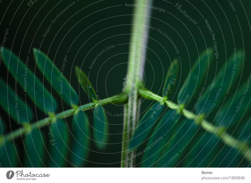 Macroaufnahme von abzweigenden grünen Blättern Natur Pflanze Blatt Grünpflanze natürlich Hintergrundbild Symmetrie Ast Zweig dunkel Makroaufnahme Nahaufnahme