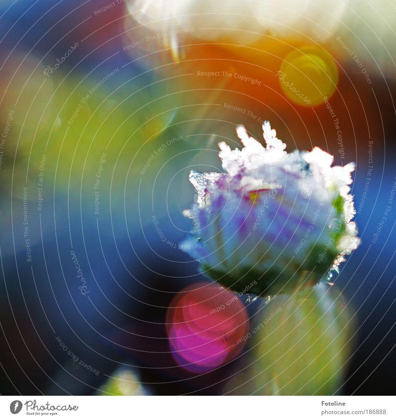 Gänseblümchen eiskalt Umwelt Natur Pflanze Winter Wetter Schönes Wetter Eis Frost Blume Blüte Park Wiese Coolness hell mehrfarbig Raureif Farbfoto Außenaufnahme
