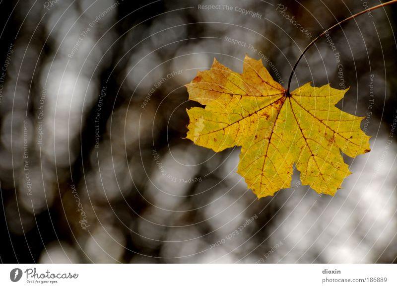 das letzte Blatt Natur Baum Pflanze Blatt Einsamkeit gelb Herbst braun Umwelt Vergänglichkeit hängen