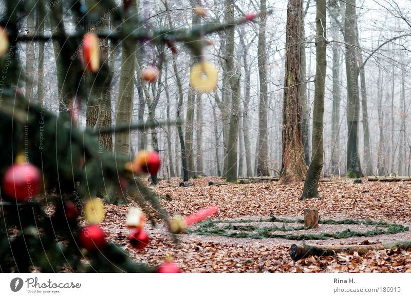 Weihnachtensbaum im Wald Natur Landschaft Winter authentisch außergewöhnlich grün rot Gefühle Freude Glück Vorfreude Zusammensein Glaube Einsamkeit