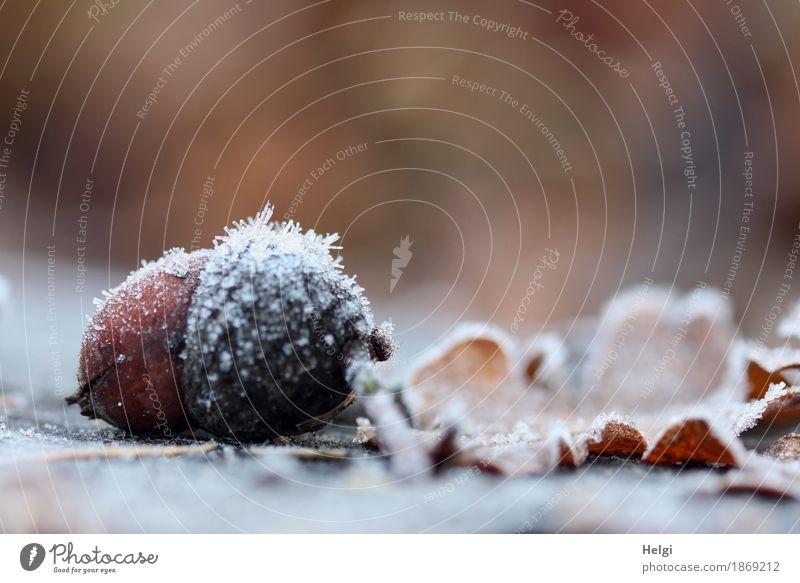 eisig dekoriert Umwelt Natur Pflanze Herbst Schönes Wetter Eis Frost Blatt Eicheln Park frieren liegen dehydrieren authentisch außergewöhnlich kalt klein