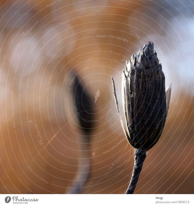 herbstliches Überbleibsel Umwelt Natur Pflanze Herbst Schönes Wetter Baum Samen Tulpenbaum Park alt dehydrieren authentisch einzigartig klein natürlich braun
