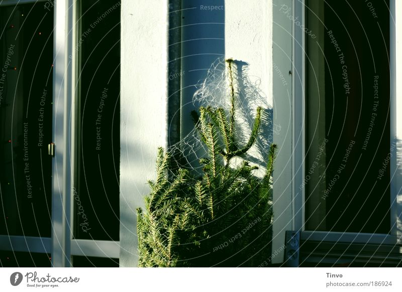 Weihnachten steht vor der Tür Weihnachten & Advent Baum Winter Haus Fenster Weihnachtsbaum Netz Häusliches Leben Schönes Wetter Vorfreude Grünpflanze Nadelbaum