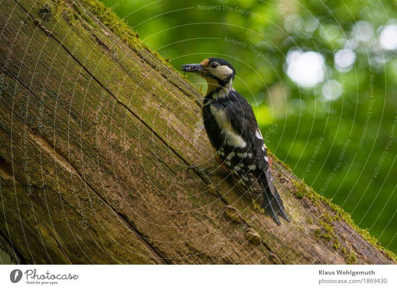 Die Kleinen warten auf mich Umwelt Natur Tier Frühling Baum Garten Park Wald Wildtier Vogel Wurm Tiergesicht Buntspecht 1 Fressen füttern wild blau braun gelb