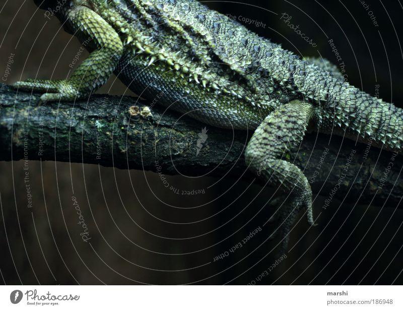 exe Natur grün Tier Beine sitzen außergewöhnlich Freizeit & Hobby bedrohlich Ast Urwald exotisch stachelig Reptil Krallen langsam Echsen
