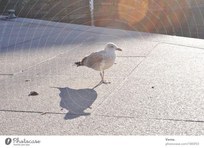 Tappsi, die tappsende Möwe aus Göteborg. Stadt Sommer Sonne Tier Umwelt Herbst Glück grau Vogel Park Wildtier Flügel Platz Klima Lebensfreude Schönes Wetter