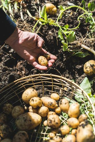 Frau Ernte Kartoffeln aus dem Garten Natur Pflanze Sommer Hand natürlich Erde dreckig frisch Kultur Jahreszeiten Gemüse Bauernhof ländlich Landwirt