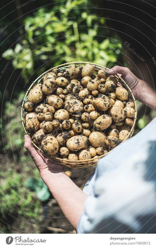 Frau Ernte Kartoffeln aus dem Garten Gemüse Sommer Gartenarbeit Hand Kultur Natur Pflanze Erde dreckig frisch natürlich Lebensmittel Feldfrüchte Bauernhof