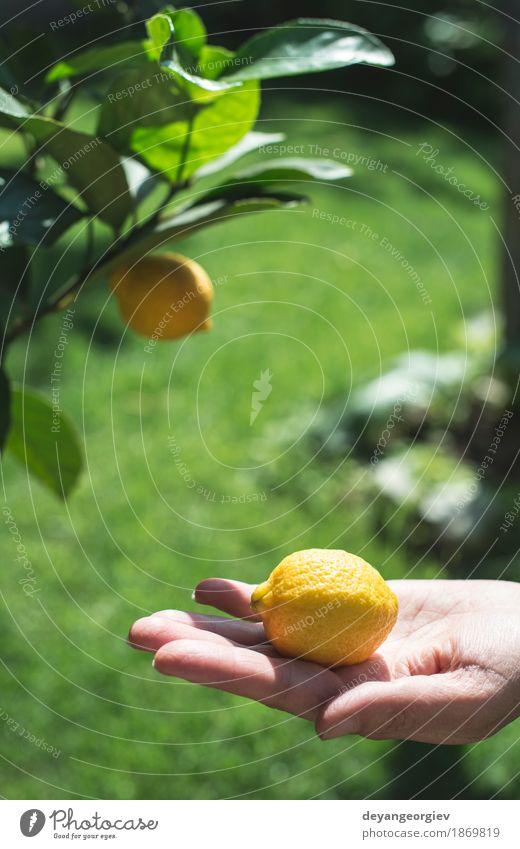 Junger Zitronenbaum und Frucht. Mensch Frau Natur Sommer grün weiß Baum Hand Mädchen Erwachsene gelb natürlich Glück Garten frisch