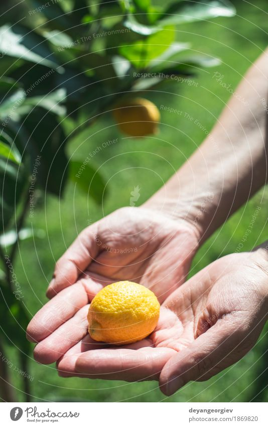 Junger Zitronenbaum und Frucht Glück Sommer Garten Mensch Mädchen Frau Erwachsene Hand Natur Baum frisch natürlich gelb grün weiß jung Gesundheit Lebensmittel