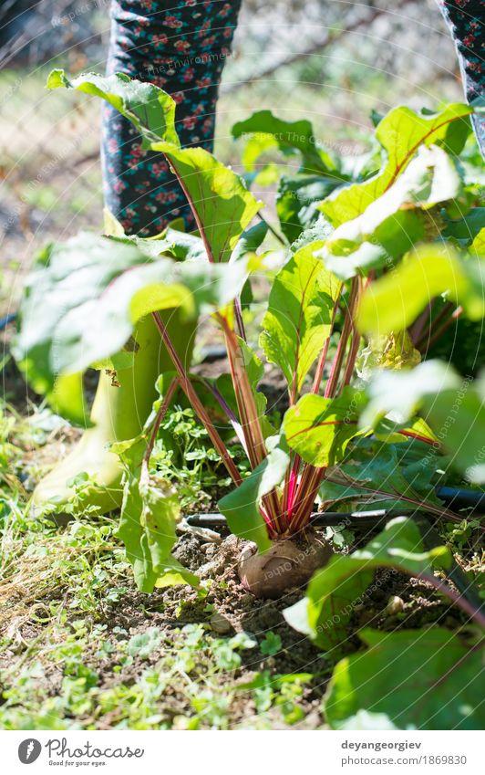 Frauenernte-rote Rübe im Garten Natur Pflanze Sommer grün Blatt natürlich Holz frisch Gemüse Ernte Vegetarische Ernährung Vitamin Landwirt Gartenarbeit