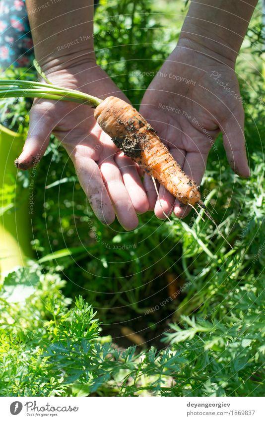 Frau Ernte Karotten Pflanze grün Hand Erwachsene Garten Wachstum Erde frisch Boden Gemüse Bauernhof Ackerbau Vegetarische Ernährung Landwirt