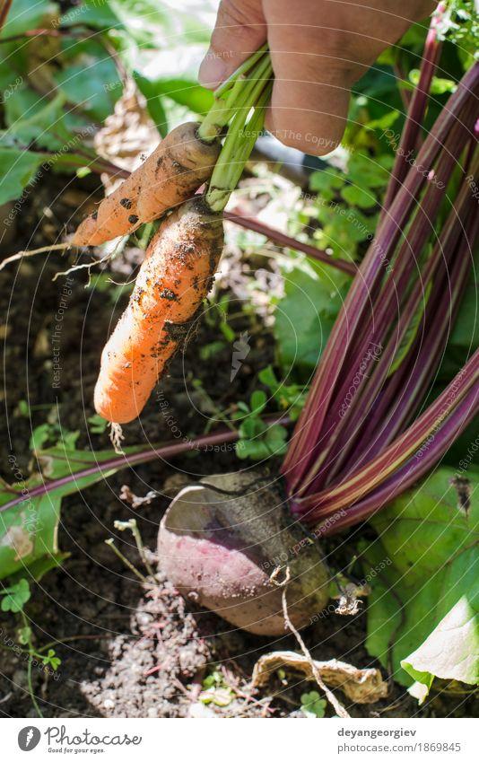 Frau Ernte Karotten und Rote Beete Natur grün Blatt Erwachsene Holz Garten frisch Gemüse Bauernhof Vegetarische Ernährung Diät Vitamin ländlich