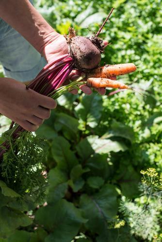 Frau Natur grün rot Blatt Erwachsene Holz Garten frisch Gemüse Bauernhof Ernte Vegetarische Ernährung Diät Vitamin ländlich