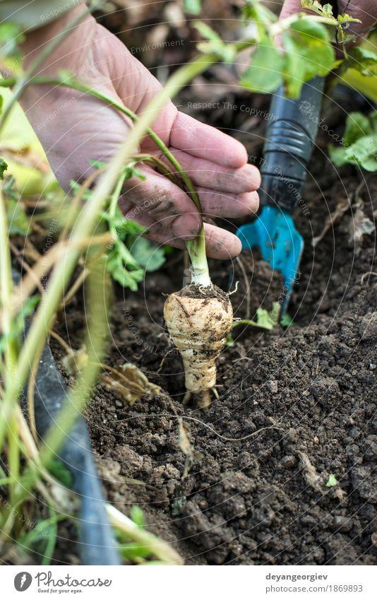 Pastinaken im Garten hautnah Natur Pflanze Sommer Hand Blatt natürlich Holz Erde frisch Jahreszeiten Gemüse Ernte Vegetarische Ernährung Vitamin Gartenarbeit