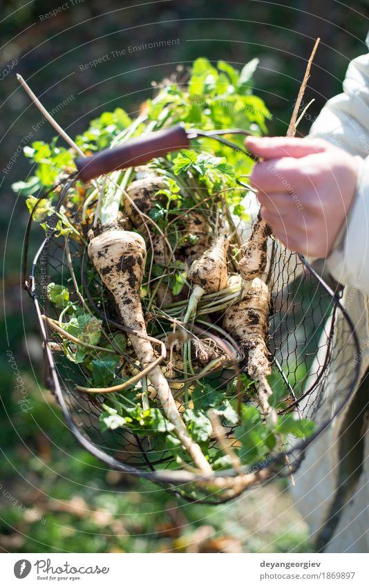 Frauengriffpastinake im Korb im Garten Pflanze grün weiß Hand Erwachsene natürlich braun Frucht frisch Gemüse Ernte Ackerbau Vegetarische Ernährung Landwirt