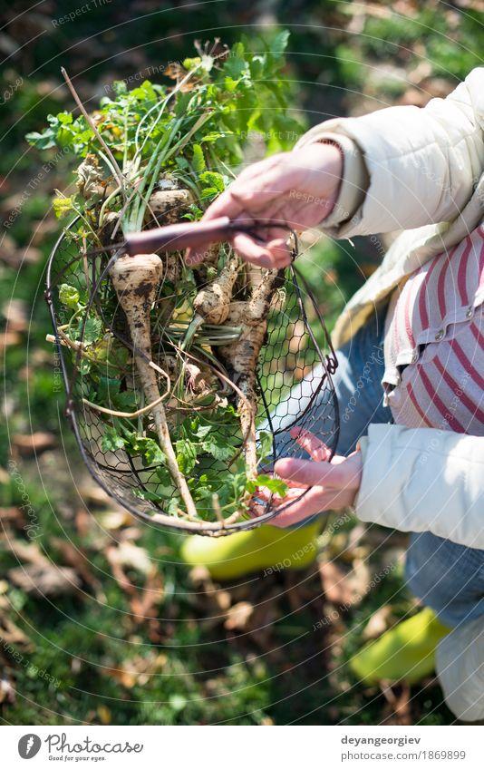 Frauengriffpastinake im Korb im Garten Gemüse Frucht Vegetarische Ernährung Gartenarbeit Erwachsene Hand Pflanze frisch natürlich braun grün weiß Wurzel