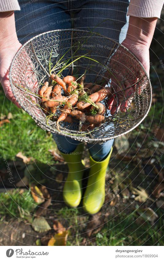 Karotten im Metallkorb auf dem Garten Gemüse Ernährung Vegetarische Ernährung Diät Gartenarbeit Natur Pflanze Blatt Holz frisch natürlich grün Korb Möhre