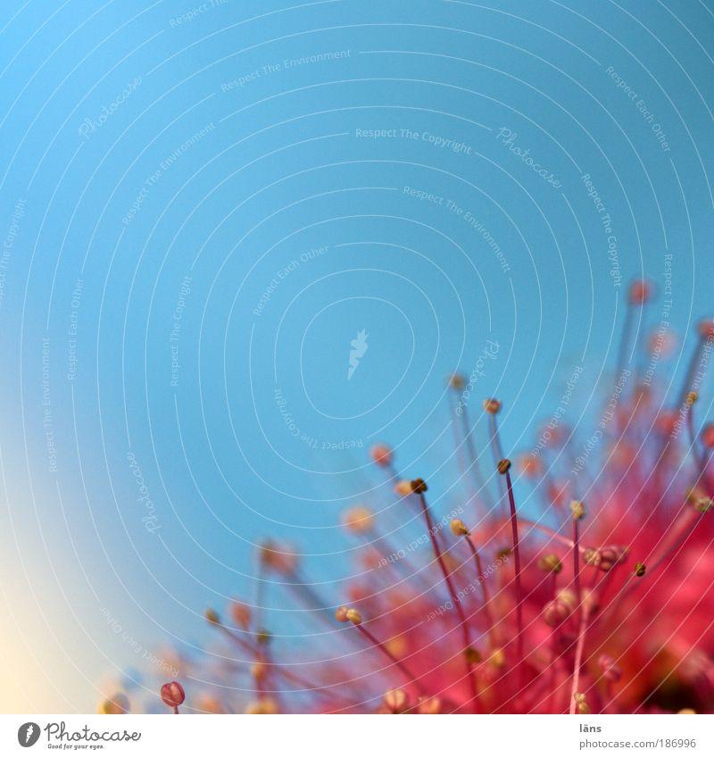 gespickt Natur Pflanze Himmel Wolkenloser Himmel Blüte Blühend ästhetisch außergewöhnlich blau rot schön Sträucher Farbfoto Außenaufnahme Nahaufnahme