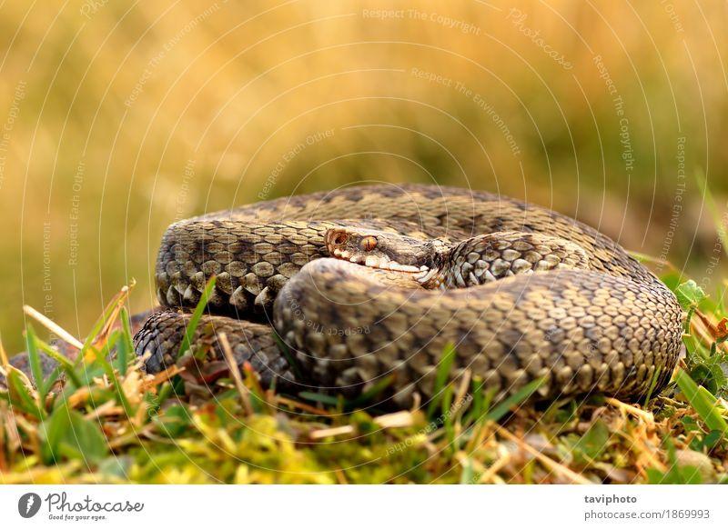 gemeinsame gekreuzte adder sonnen sich Frau Natur schön Tier Erwachsene Umwelt natürlich braun wild Angst Wildtier gefährlich Fotografie Lebewesen Europäer Gift