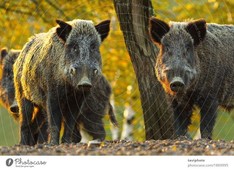 neugierige Wildschweine Gesicht Spielen Jagd Fotokamera Mann Erwachsene Zähne Umwelt Natur Tier Herbst Baum Wald Pelzmantel Behaarung dunkel groß niedlich stark