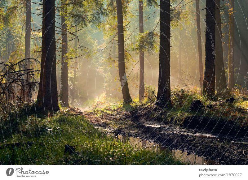 schönes Morgenlicht im Fichtenwald Abenteuer Sonne Umwelt Natur Landschaft Herbst Nebel Baum Park Wald Wege & Pfade Wachstum natürlich grün Farbe geheimnisvoll