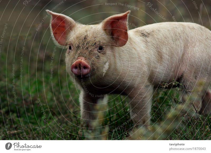 Porträt des jungen Schweins Fleisch Glück schön Gesicht Industrie Baby Natur Tier stehen dreckig klein lustig niedlich rosa weiß Farbe Hausschwein Bauernhof