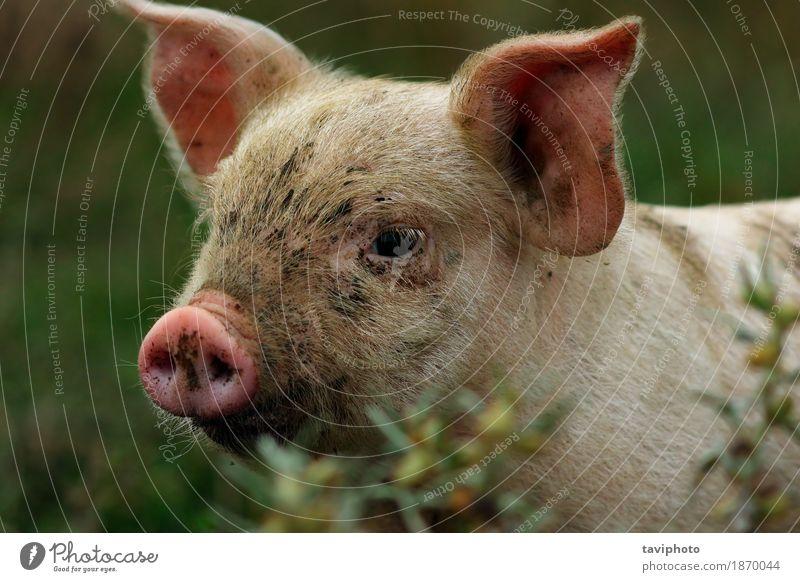 Porträt des jungen rosa Schweins Fleisch Glück schön Industrie Natur Tier beobachten dreckig klein lustig Neugier niedlich weiß Farbe Hausschwein Bauernhof