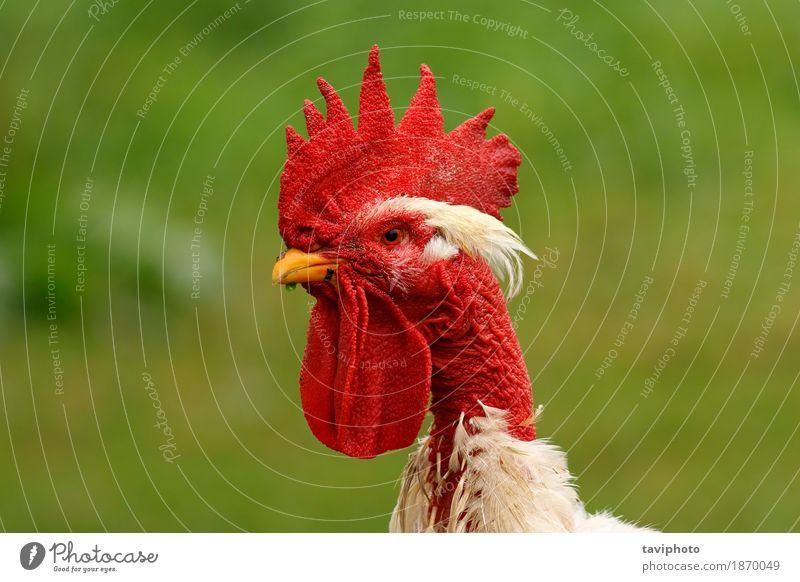 Hahnportrait auf grünem Hintergrund schön Garten Mann Erwachsene Natur Landschaft Tier Vogel stehen natürlich rot weiß Stolz Federvieh Ackerbau ländlich