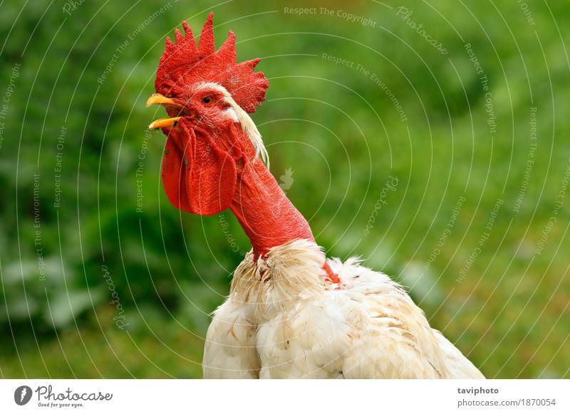 zottiges Hahnportrait schön Mann Erwachsene Natur Tier Vogel stehen natürlich rot Farbe Bauernhof Ackerbau Hintergrund Federvieh Kopf Hähnchen heimisch eine