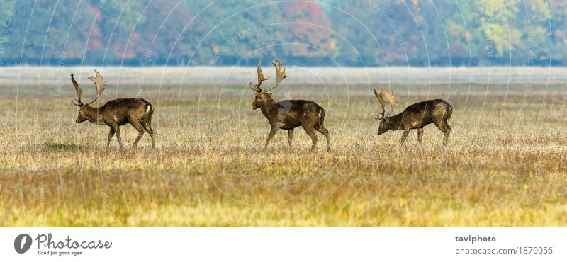 drei Damhirsche Natur Mann Landschaft Tier Wald Erwachsene Wiese natürlich Gras braun wild Park beobachten Jahreszeiten Säugetier herbstlich