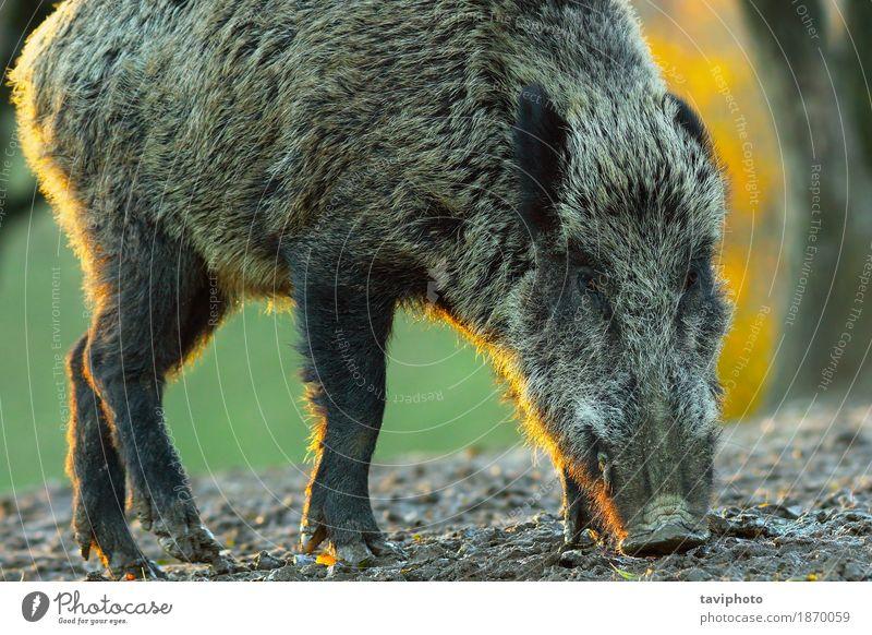 Nahaufnahme des wilden Ebers an der Dämmerung schön Gesicht Jagd Umwelt Natur Tier Wald Pelzmantel groß natürlich braun gefährlich Farbe Hausschwein Säugetier