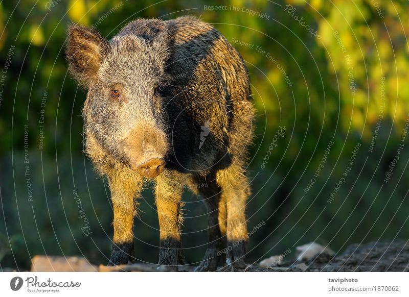 Wildschwein in einer Lichtung Jagd Umwelt Natur Tier Herbst Wald Pelzmantel Behaarung dunkel groß wild braun grün gefährlich Hausschwein Scrofa Schwein