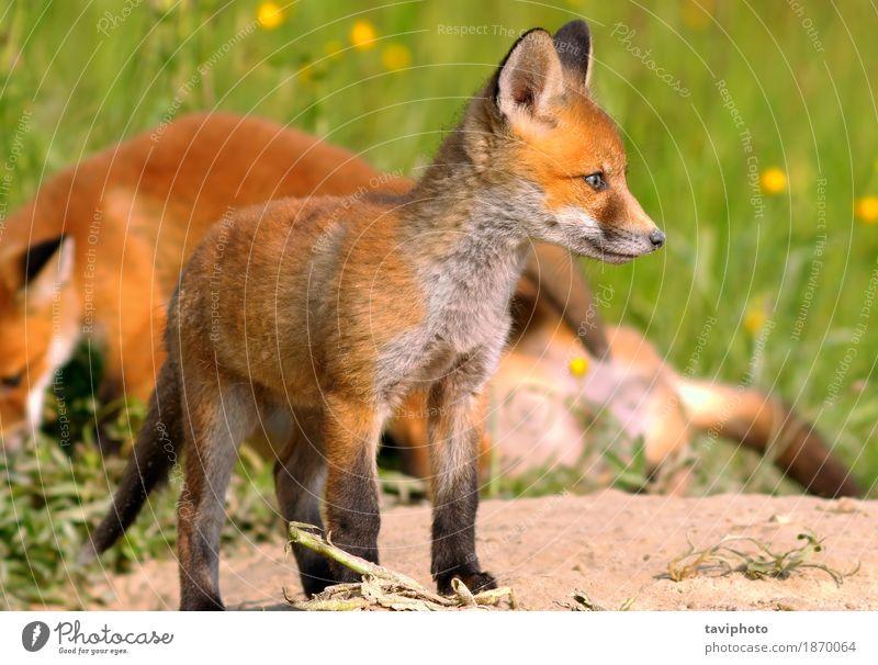 junger europäischer Fuchs schön Jagd Baby Umwelt Natur Tier Hund Tierjunges klein natürlich niedlich wild braun grün rot Farbe Tierwelt Raubtier Schamlippen