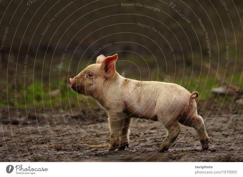 junges Schwein in der Nähe der Farm Natur Farbe schön grün weiß Landschaft Tier lustig klein Glück rosa frei dreckig Erde stehen Baby