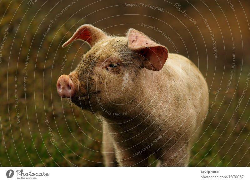 junges rosa Schweinporträt Fleisch Freude schön Menschengruppe Tier Tierjunges stehen dreckig klein lustig niedlich schwarz weiß Farbe Hausschwein Bauernhof