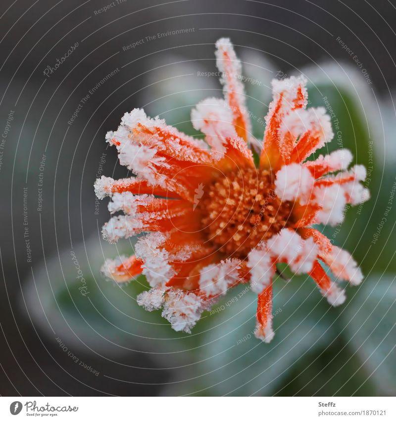 weiterhin viel zu kalt Natur Pflanze schön Blume Winter Blüte Herbst orange Wetter Eis Blühend Klima Vergänglichkeit Frost gefroren
